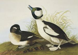 Buffel-Headed Duck by John James Audubon