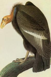 California Condor by John James Audubon