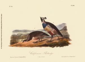 California Partridge by John James Audubon
