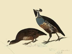 California Quail by John James Audubon