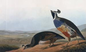Californian Partridge, from Birds of America, Engraved by Robert Havell by John James Audubon