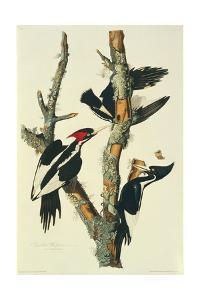Campephilus principalis, ivory-billed woodpecker, illustration from 'Birds of America' by John James Audubon