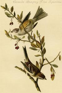 Canada Bunting Tree Sparrow by John James Audubon