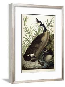 Canada Goose, C.1827-1838 by John James Audubon