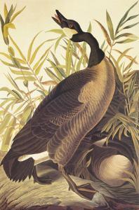 Canada Goose by John James Audubon