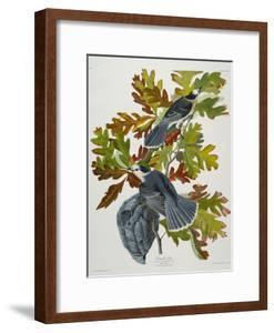 Canada Jay by John James Audubon