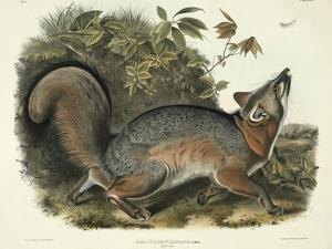 Canis (Vulpes) Virginianus (Grey Fox), Plate 21 from 'Quadrupeds of North America', Engraved by… by John James Audubon