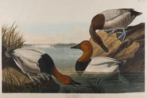 Canvas Backed Duck, 1836 by John James Audubon