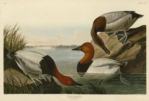 Canvas Backed Duck by John James Audubon