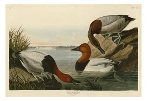 Canvas Backed Duck by John James Audubon