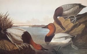 Canvas-Backed Duck by John James Audubon