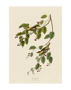 Carbonated Warbler by John James Audubon