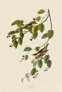 Carbonated Warbler by John James Audubon