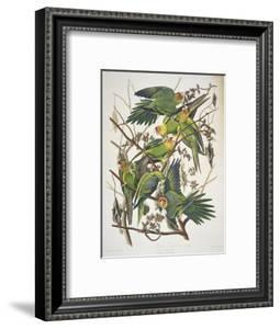 "Carolina Parakeet, from ""Birds of America,"" 1829 by John James Audubon"