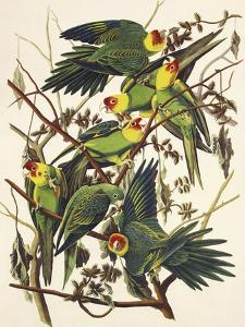 Carolina Parrot by John James Audubon