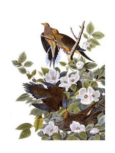Carolina Turtle Dove by John James Audubon