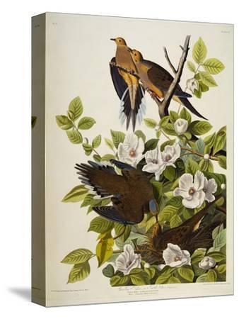 Carolina Turtledove. Mourning Dove,