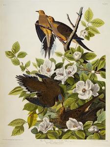 Carolina Turtledove. Mourning Dove, by John James Audubon