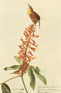 Carolina Wren by John James Audubon
