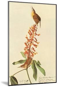 Carolina Wren by John James Audubon