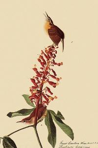 Carolina Wrens by John James Audubon