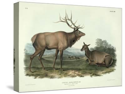 Cervus Canadensis (American Elk, Wapiti Deer), Plate 62 from 'Quadrupeds of North America',…