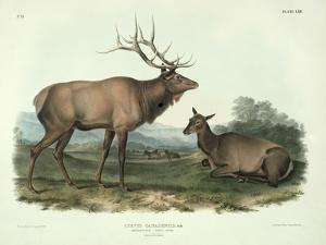 Cervus Canadensis (American Elk, Wapiti Deer), Plate 62 from 'Quadrupeds of North America',… by John James Audubon