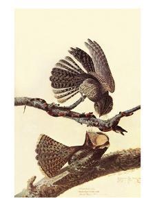Chuck-Wills Willow by John James Audubon