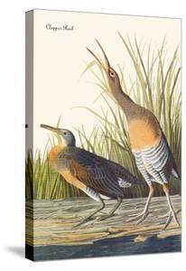 Clapper Rail by John James Audubon
