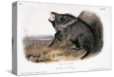 Collared Peccary, 1846