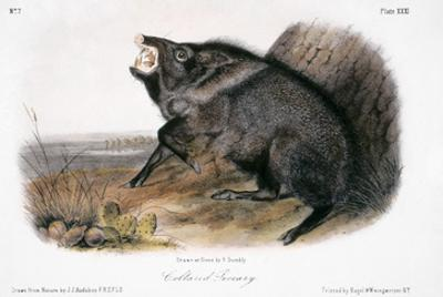 Collared Peccary, 1846 by John James Audubon