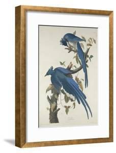 Columbia Jay, 1830 by John James Audubon