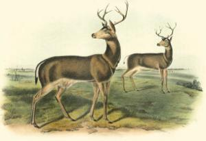 Columbian Black-Tailed Deer by John James Audubon