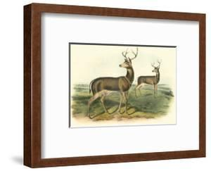 Columbian Black-Tailed Deer by John James Audubon