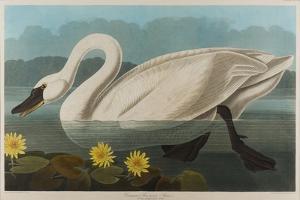 Common American Swan, 1838 by John James Audubon