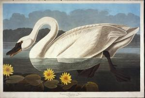 Common American Swan. Whistling Swan by John James Audubon