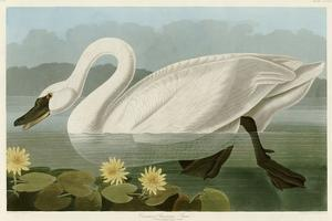 Common American Swan by John James Audubon