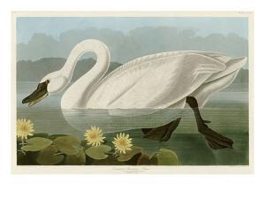 Common American Swan by John James Audubon