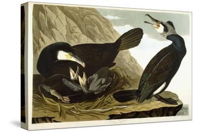 Common Cormorant, 1835