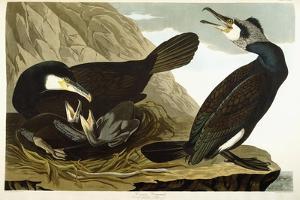 Common Cormorant, 1835 by John James Audubon