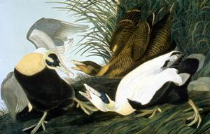 Common Eider, Eider Duck by John James Audubon
