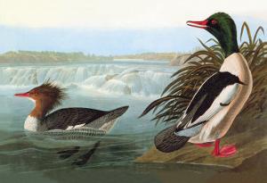 Common Merganser by John James Audubon