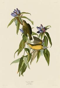 Connecticut Warbler by John James Audubon