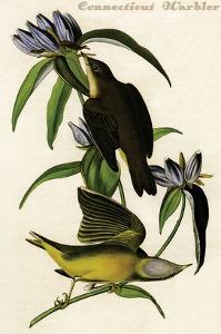 Connecticut Warbler by John James Audubon