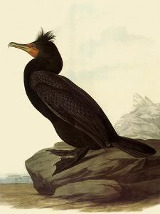 Cormorant by John James Audubon