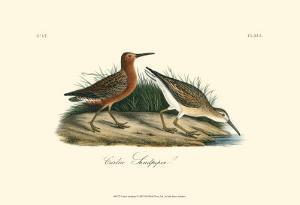Curlew Sandpiper by John James Audubon