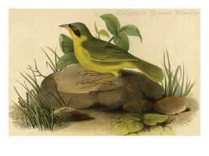 Delafields Ground Warbler by John James Audubon