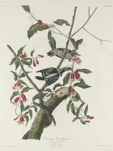 Downy Woodpecker, 1831 by John James Audubon