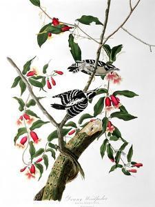 "Downy Woodpecker, from ""Birds of America"" by John James Audubon"