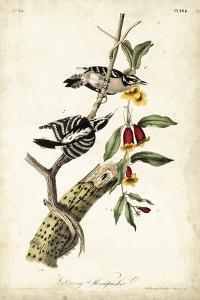 Downy Woodpecker by John James Audubon